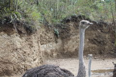 ostriches Immagine Stock