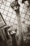 ostriches Royalty-vrije Stock Afbeeldingen