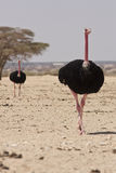 Ostriches Stock Photos