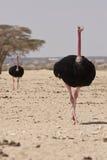 Ostriches. Wild ostriches on desert walking Stock Photos