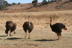 Ostriches in Africa Royalty Free Stock Images