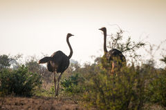 Ostriches on african savanna, Kenya Stock Images