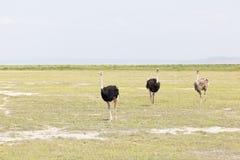 Ostriches in Amboseli, Kenya Royalty Free Stock Photo
