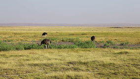 Ostriches, Amboseli park, Kenya. Ostriches eating grass, Amboseli park, Kenya stock video