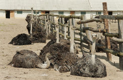 Ostriches bask in the sun Royalty Free Stock Image
