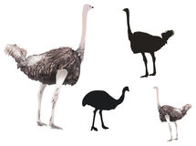Ostriches collection isolated on white Royalty Free Stock Photos