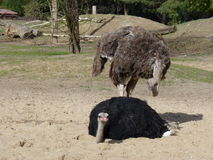 Ostriches or common ostrich or Struthio camelus Stock Images