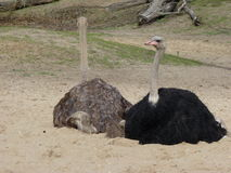 Ostriches or common ostrich or Struthio camelus Stock Photos