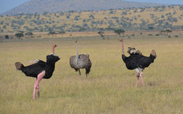 Ostriches do a mating dance for a female. Two male Ostriches do a mating dance for a female in a game reserve Stock Photo