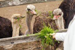 Ostriches  are eating grass Royalty Free Stock Photos