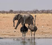Ostriches And Elephant. Ostriches and an Elephant at a watering hole in the Namibian savanna stock image