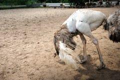 Ostriches farm Stock Photos
