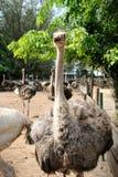 Ostriches farm Royalty Free Stock Photo