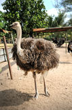 Ostriches farm Royalty Free Stock Image