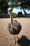 Ostriches farm Stock Photography