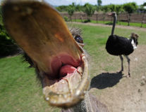 Ostriches in a farm Stock Photo