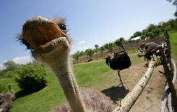 Ostriches in a farm Stock Photography