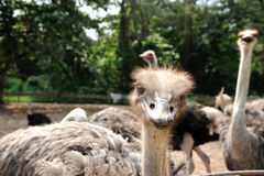 Ostriches farm in Johor, Malaysia Royalty Free Stock Photo