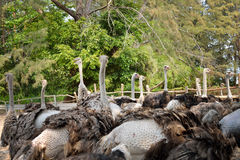 Ostriches farm. In Johor, Malaysia Stock Images