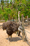 Ostriches farm. In Johor, Malaysia Royalty Free Stock Photo