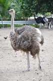 Ostriches in a farm Royalty Free Stock Images