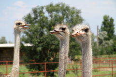 Ostriches on the farm Royalty Free Stock Image