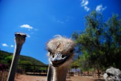 Ostriches on a farm Stock Images