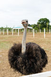 Ostriches in a farm Royalty Free Stock Photography