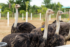 Ostriches in a farm. Ostriches on a farm in thailand Royalty Free Stock Image