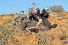 Ostriches fighting Stock Image