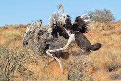 Ostriches fighting at kgalagadi Stock Image