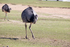 Ostriches. Grazing on a field Stock Photo