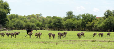 Ostriches grazing Stock Photos