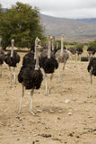 Ostriches Stock Photography