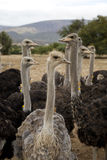 Ostriches Stock Images