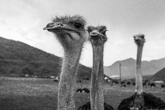 Ostriches head closeup. Close-up portrait of african ostriches Royalty Free Stock Image
