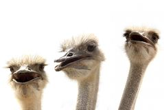 Ostriches isolated on white Royalty Free Stock Photography