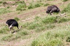 Ostriches Itatiba Zoo Sao Paulo Brazil Stock Image