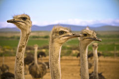 Ostriches in the Karoo. Desert on the farm with a mountain range and blue sky background Stock Photography