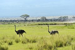 Ostriches Kilimanjaro Stock Image