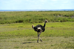 Ostriches Kilimanjaro Royalty Free Stock Images