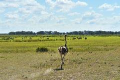 Ostriches Kilimanjaro Royalty Free Stock Image