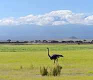 Ostriches Kilimanjaro Royalty Free Stock Image