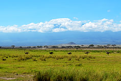 Ostriches Kilimanjaro Stock Photography