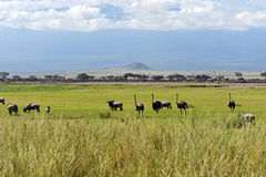 Ostriches Kilimanjaro Stock Images