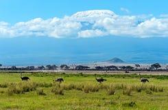 Ostriches Kilimanjaro Stock Photos