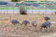 Ostriches in the kleine Karoo, South Africa Royalty Free Stock Photo