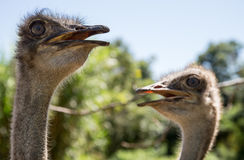 Ostriches looking meaningful Stock Photo