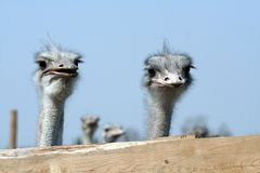 Ostriches looking over fence. Portrait of two ostriches looking over fence with blue sky background Stock Photography