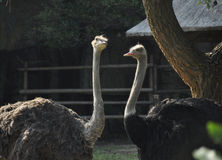Ostriches. A male and a female ostrich Royalty Free Stock Photo